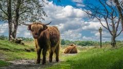 Schotse-hooglanders-Gasteren-8