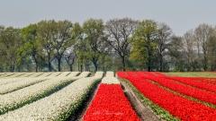 Tulpevelden-Schoonloo-3